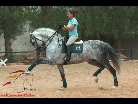 CANTOR - PRE HORSE WITH THREE GOOD GAITS SOLD!!!