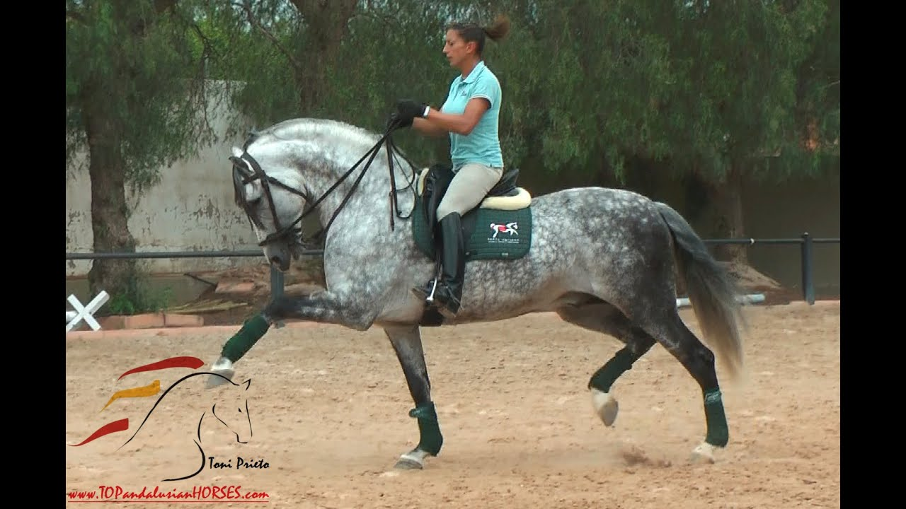 Cantor - Pre Horse With Three Good Gaits Sold