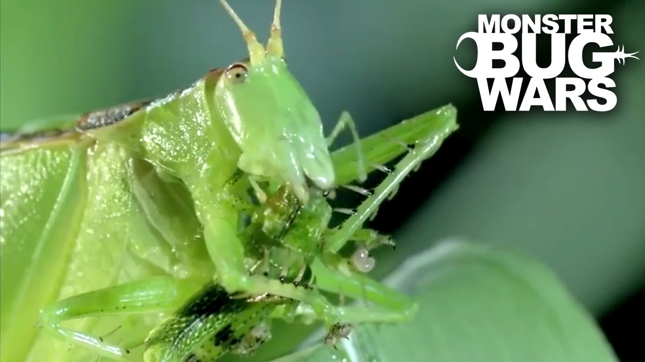 predatory relationship of katydids and mantids The earliest presumed praying mantis remains have been  given the proposed possible close relationship of s axelrodi and c larvalis (grimaldi,  predel, 2014), (2) predatory katydids (eg, marshall & hill, 2009, their fig.