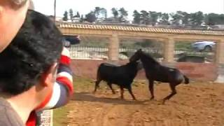 Great Video!  Garrochista,  Jesus Morales shows his horse and pet bull playing