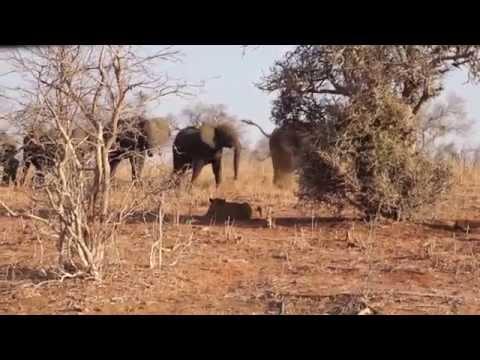 Elephants vs. Lions. Chobe National Park, Botswana. HD