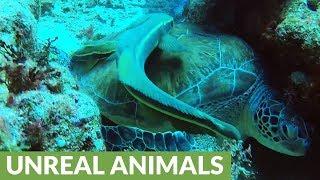Bizarre remora fish tries to latch onto GoPro camera