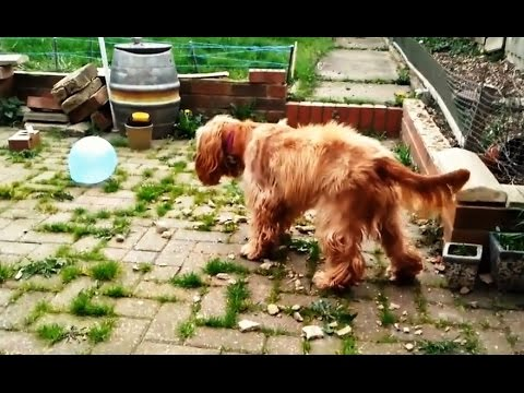 """Cats and Dogs vs. Balloons Compilation"" 