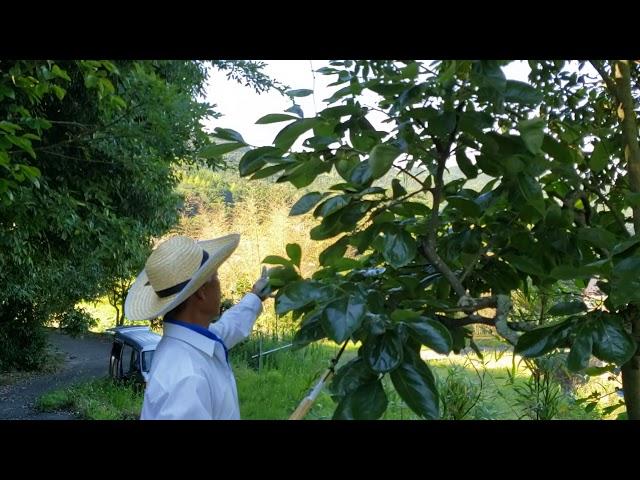 農場長、7月適期の柿の葉収穫中~賑やかなセミの声🎵