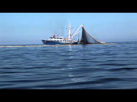 Commercial Tuna Vessel Nets Dolphins, Bill Fish With Tuna In Sea Of Cortez