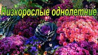 цветы.Цветущие все лето. Низкорослые однолетние