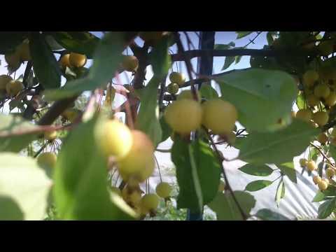 Райские яблони в сентябре
