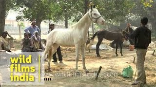 Horses for sale at Sonepur Mela in India's state of Bihar