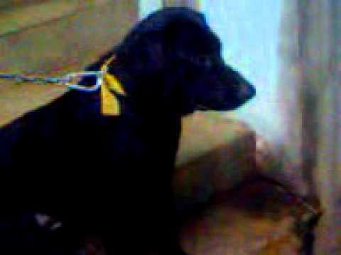 SURYA DOG
