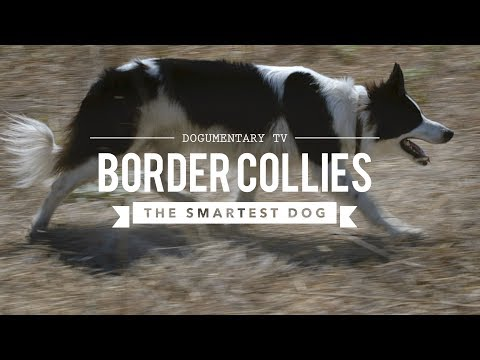 BORDER COLLIE THE WORLD'S SMARTEST DOGS