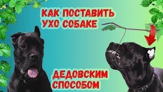 Как поставить уши собаке Кане Косро.#canecorso