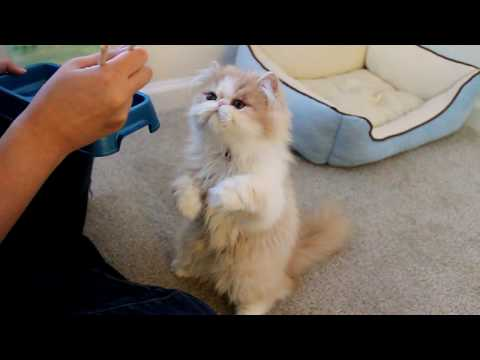 Thumbnail for Cat Video Cat Eating From Chopsticks