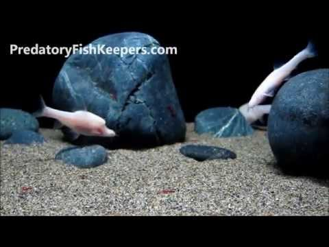 RARE Chinese Blind Cave Fishes Triplophysa Jiarongensis Longibarbatus Sinocyclocheilus Furcodorsalis