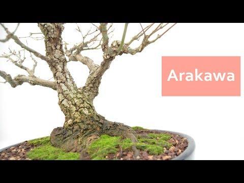 Arakawa - Bonsai Colmenar