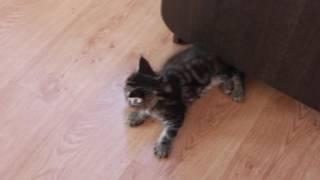 котята мейн кун в Липецке продажа