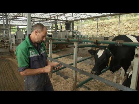 شاهد: الأبقار البريطانية تدخل دائرة استغلال تكنولوجيا جي5 …  - 15:54-2019 / 9 / 6