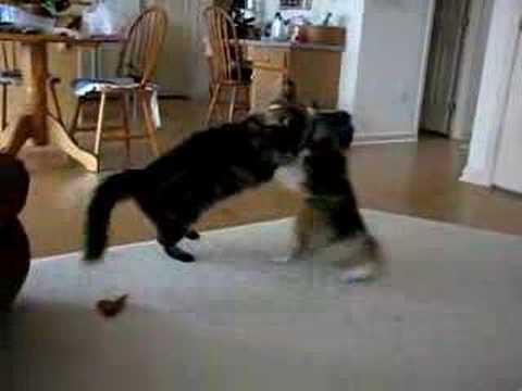 Sheltie and Maine Coon Cat Wrestle