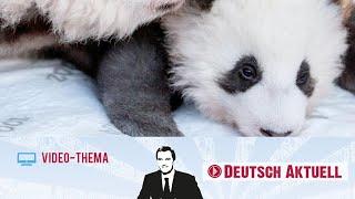 Panda-Babys begeistern Besucher im Berliner Zoo | Deutsch lernen mit Videos