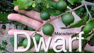 Dwarf Macadamia Nut Tree For Australia