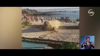 Elefante marino varado en Bahía Inglesa terminó dañando una vivienda - CHV Noticias