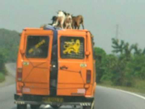 Goat transportation in ghana.
