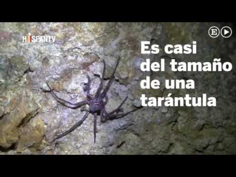 descubren nueva araña baja californiana