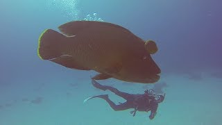 Napoleon-Lippfisch (Cheilinus undulatus) - Rotes Meer