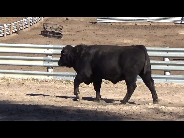 Connealy Angus Lot 55