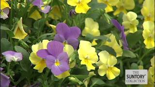 Violina Violas: Gorgeous Early Spring Color