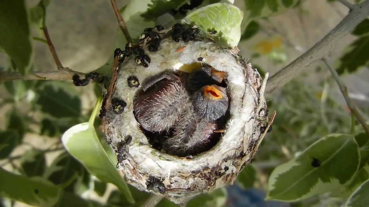 Hummingbirds Anna S Babies Are 9 Days Old Amp Singing In