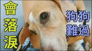 【粉黃豬】寵物會哭?狗狗泛淚影片公開 #米格魯去哪兒