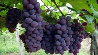 Colha Uvas em Vasos em 3 Meses Com Apenas 1 Galho
