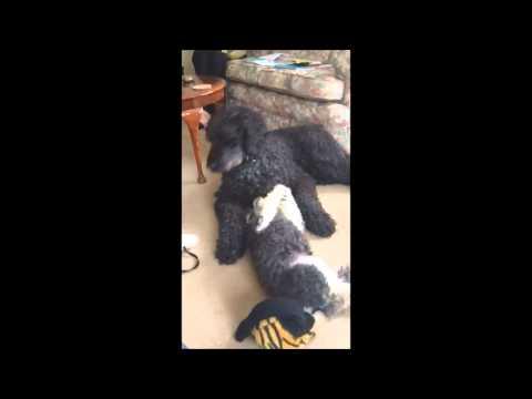 Beautiful Poodles playing