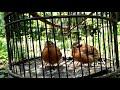 Beginilah Cara Meloloh Anakan Burung Anis Kancil Campeor Pelanduk Topi Hitam Yang Benar  Mp3 - Mp4 Download