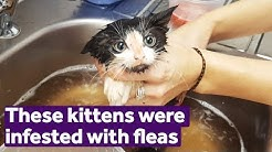 These kittens had the worst flea infestation we'd ever seen | Mayhew