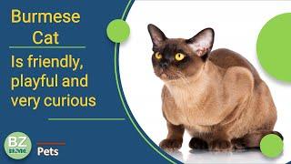 Burmese Cat Is Calm, Gentle And Delicate