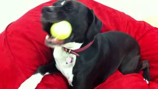 Boxer Lab Mix Dogs Playing
