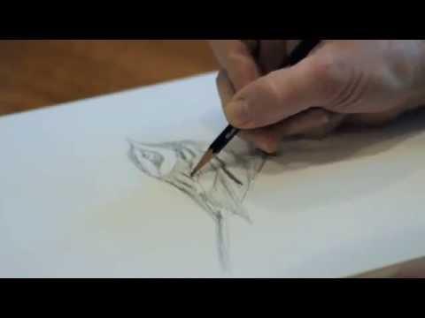 David Allen Sibley sketches a Townsend's Warbler
