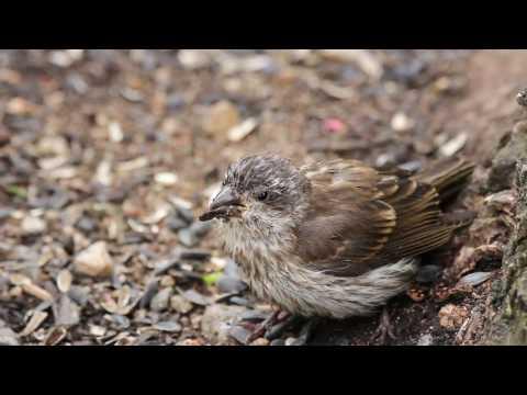suspected frounce, trichomonosis, Trichomonas gallinae, Trich, etc in Newfoundland Canada