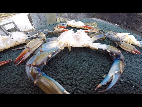 """""""Blue crabs"""" The Best Way to Clean them"""
