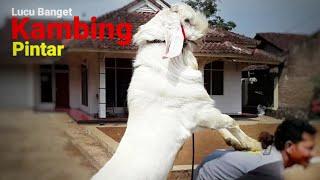 Video Lucu Banget Kambing Pintar Bisa Menari-Nari - Goat smart - الماعز فريدة من نوعها download MP3, 3GP, MP4, WEBM, AVI, FLV April 2018