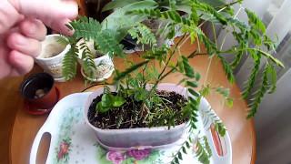 видео Выращивание дерева бонсай: клен, сакура из семян в домашних условиях, технология выращивания и ухода