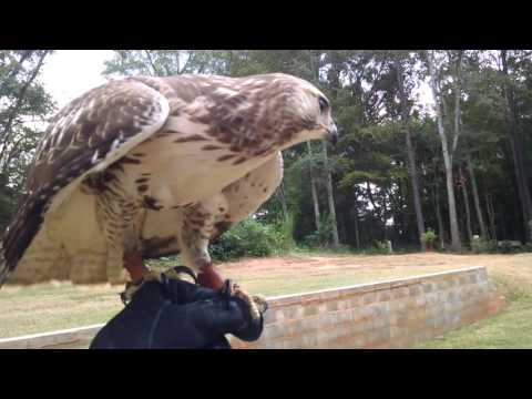 Katniss-training a wild redtail as a falconry hawk