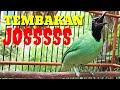 Cucak Ijo Gacor Bongkar Isian Full Nembak Kasar Ampuh Buat Pancingan  Mp3 - Mp4 Download
