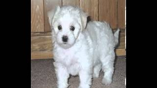 Havanese Poodle Mix For Sale In Ohio