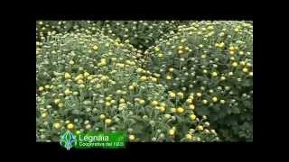 La produzione dei crisantemi