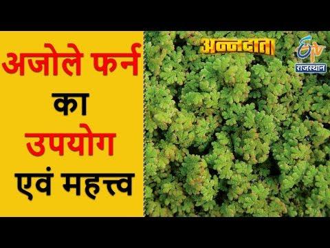 अजोले फर्न का उपयोग एवं महत्त्व | Use of Azolla | अन्नदाता | 30 Sept 2017 | ETV Rajasthan