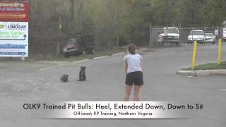 Two Olk9 Trained Pit Bulls Off-leash Heeling!  Dog Training, Northern Virginia, Dc, Md