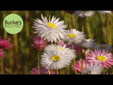 Burke's Backyard, Australian Native Paper Daisies