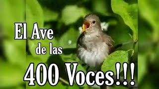 El Canto del Cenzontle, el ave de las 400 Voces (Sinsonte) 💕🐦